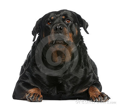 Fat Rottweiler, 3 years old, lying in front of