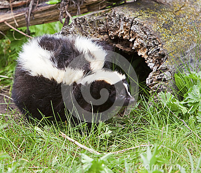Fat skunk in woods