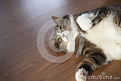 Fat Tabby Cat Stock Photos - Image: 32435953