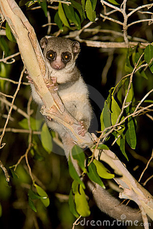 Fat Tailed Dwarf Lemur