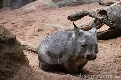 Fat Wombat