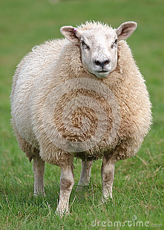 Free Fat Woolly Sheep Stock Image - 26373241
