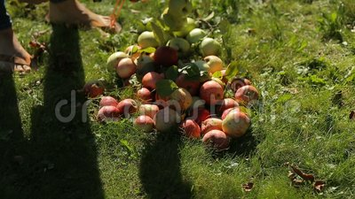 Father and daughter in the apple orchard measure apples for nitrates and radiation. Apples are stacked on a ground stock video footage