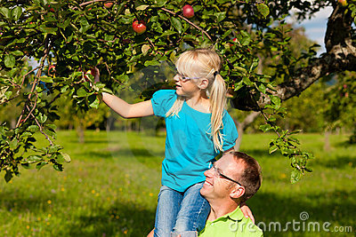 Father and daughter harvesting apples