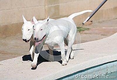 White Bull Terriers