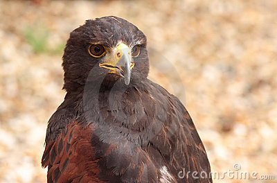 Faucon de Harris