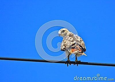 Faucon Rouge-suivi sur un fil