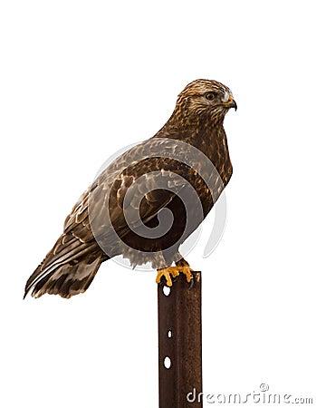 Faucon Rugueux-à jambes roosting le blanc d isolement