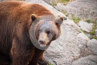 Fauna al aire libre animal del oso negro