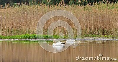 Fauna da Bielorrússia Cisne de mudas brancas ou cignus olor nadando no lago de lagoas na primavera vídeos de arquivo