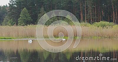 Fauna da Bielorrússia Cisne de mudas brancas ou cignus olor nadando no lago de lagoas na primavera video estoque