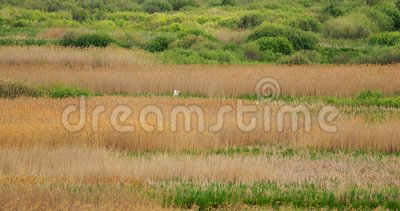 Fauna Da Bielorrússia Dois Grande Egret Ou Ardea Alba, Também Conhecidos Como Egret Comum, Egret Grande Ou Egret Branco Grande Ou vídeos de arquivo