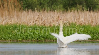 Fauna da Bielorrússia Moto branco batendo suas asas ou cygnus olor nadando no lago de lagoas na primavera filme