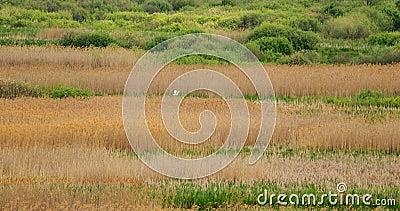 Fauna De Bielorrusia Dos Grandes Egret O Ardea Alba, También Conocidos Como El Grado Común, La Gran Egret O La Gran Egret Blanca  almacen de metraje de vídeo