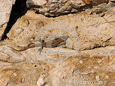 Fauna a lizard