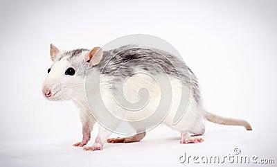 Favourite rat