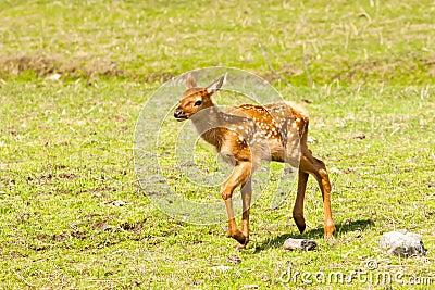 άλκες fawn