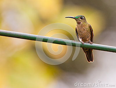 Fawn-breasted Brilliant Hummingbird