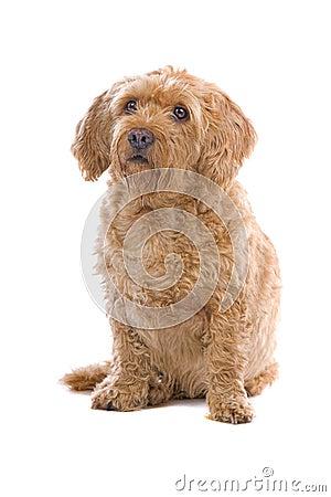 Fawn Brittany Griffon dog