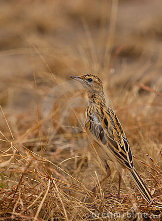 A Fawn-colored Lark on the ground