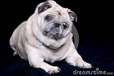 Fawn Colored Pug