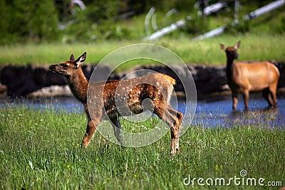 Fawn elk near stream mom in background