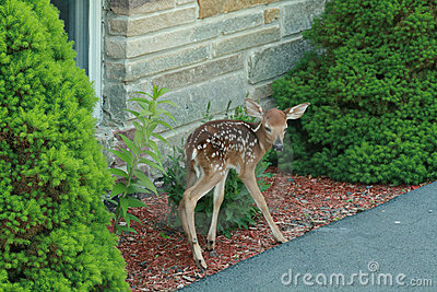 Fawn looking for Mom