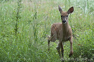 Fawn on the meadow