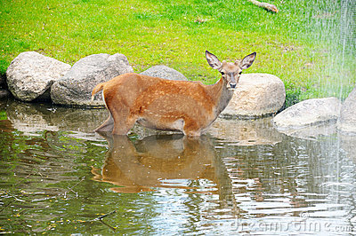A fawn in the river near the waterfall