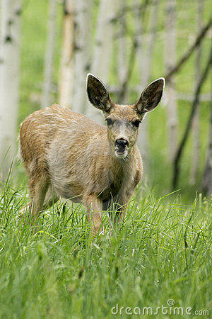 Free Fawn Walking In Mountain Forrest Stock Photography - 304892