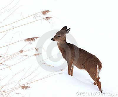 Fawn in winter