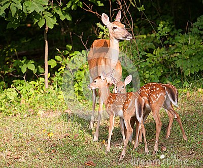 Fawns and mom