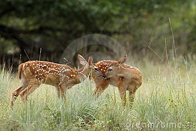 Fawns in the Rain