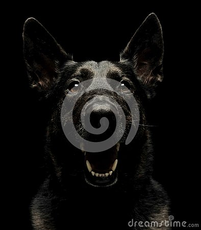 Free Fearful  Black German Shepherd Dog In  Dark Studio Royalty Free Stock Photography - 100140537
