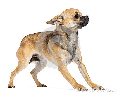 Fearful Chihuahua