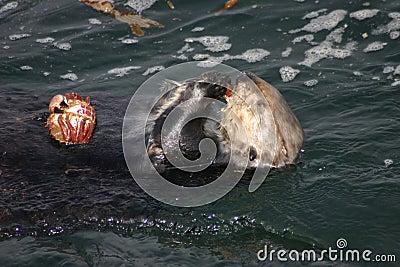 Feasting Sea Otter
