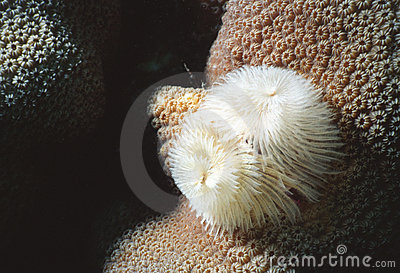 Feather duster on star coral
