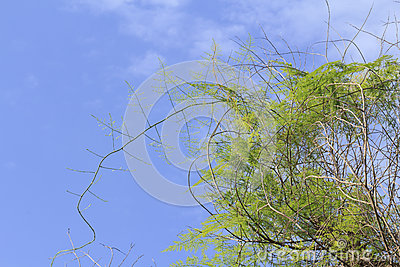 Feather fern, Asparagus fern