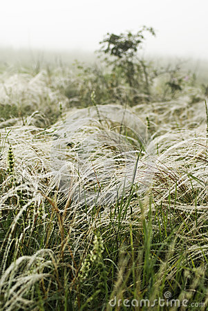 Feather grass in wind