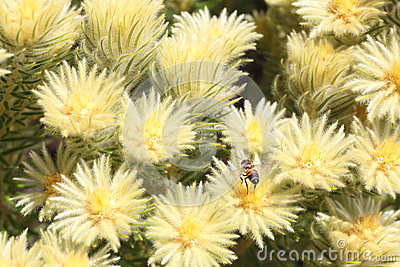 Flannel bush flowers with bee