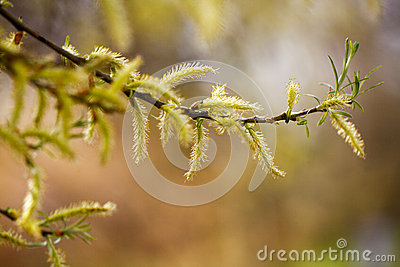 Feathery catkins on a branch