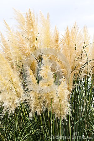 Free Feathery Grass Background Outdoor Royalty Free Stock Photography - 35684247