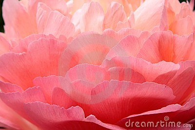 Feathery rose petals