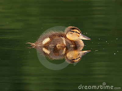 Feathery sweet duckling