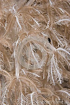 Feathery xenid (Anthelia glauca), detail.