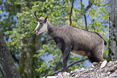 Featured chamois (Rupicapra rupicapra)