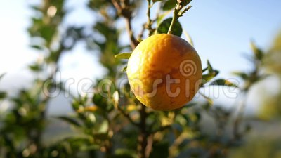 Fecha a fruta laranja pendurada na árvore do jardim Foco seletivo video estoque
