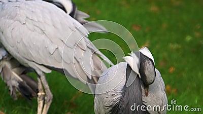 Fechamento de uma grua demoiselle olhando em volta e prendendo suas penas, espécies populares de aves da Eurásia vídeos de arquivo