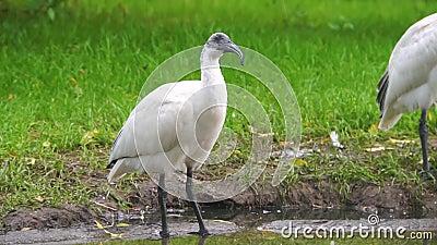 Fechamento de uma tábua branca oriental preta olhando em volta, espécie de aves ameaçada Near da Indonésia video estoque