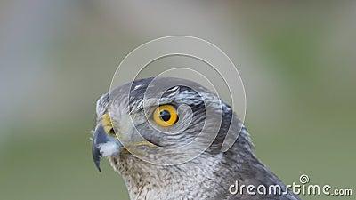 Fechar a vista de um falcão híbrido filme